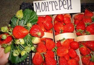 Descrierea și caracteristicile căpșunilor Monterey, plantare și îngrijire