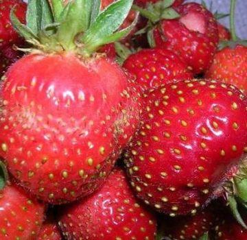 Beschreibung der Erdbeersorten Moskau Delikatesse, Pflanzung und Pflege