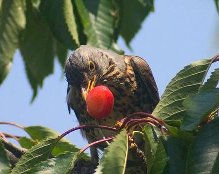 Hogyan lehet megvédeni és megvédeni a cseresznyefajtákat a madarak ellen, különféle ijesztőkkel