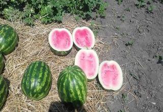 A görögdinnye fajták leírása és szabályai a Crimson Sweet