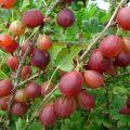 Descripción de las mejores variedades de grosella, 50 especies más grandes y dulces.