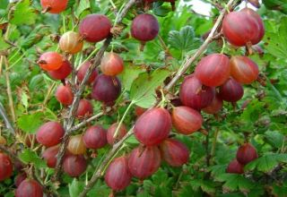 Descrierea celor mai bune soiuri de coacăze, 50 dintre cele mai mari și mai dulci specii