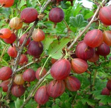 Descripción de las mejores variedades de grosellas, 50 de las especies más grandes y dulces.