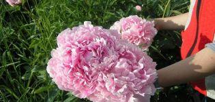 A bazsarózsa fajták leírása és jellemzői Sarah Bernhardt, termesztési technológia