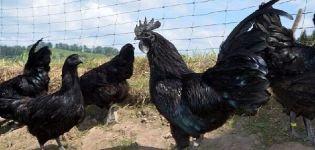 Descripción y características de la raza de pollo Ayam Tsemani, condiciones de detención.
