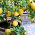Plantar y cuidar limones caseros, con qué frecuencia regar y qué alimentar en las condiciones de la habitación