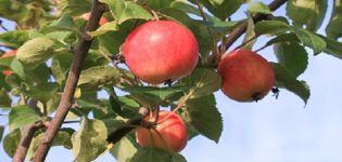 Beschreibung der Apfelsorte Gornoaltayskaya, Anbaumerkmale und Brutgeschichte