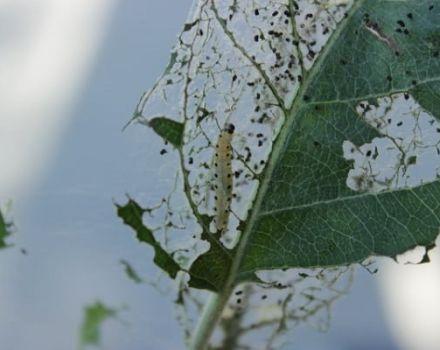 Métodos populares y químicos para tratar las orugas del gusano de seda en los manzanos, prevención