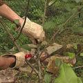 Hogyan lehet a cseresznye tavasszal, nyáron és ősszel helyesen megragadni, hogy jó aratás