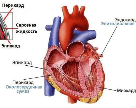 Structure cardiaque de la vache et son fonctionnement, maladies possibles et leurs symptômes