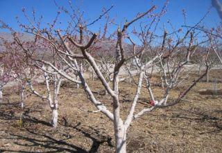 Ako oplodniť marhule v lete, na jar a na jeseň počas plodenia a po zbere, ako oplodniť