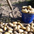 Când poți săpa cartofi tineri după înflorire?