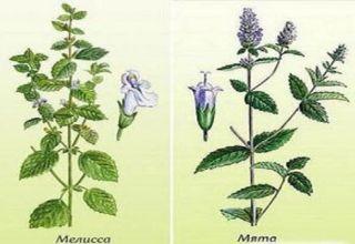 Quelle est la différence et quelle est la différence entre la menthe et la mélisse, qui est plus saine