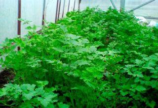 Cómo cultivar correctamente el cilantro en un invernadero