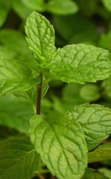 Description de la variété de menthe anglaise, caractéristiques de culture et d'entretien