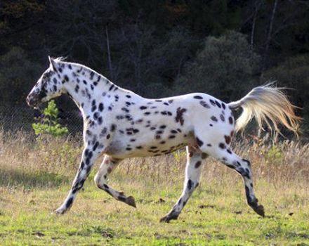 Descrierea și caracteristicile rasei de cai Altai, caracteristicile conținutului