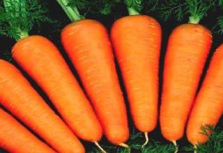 Caractéristiques et description de la variété de carottes Abaco, rendement