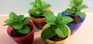 Kuinka kasvattaa ja hoitaa minttua kotona siementen ikkunalaudalla