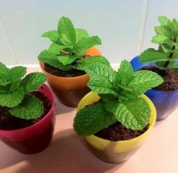 Comment cultiver et entretenir la menthe à la maison sur un rebord de fenêtre de semences