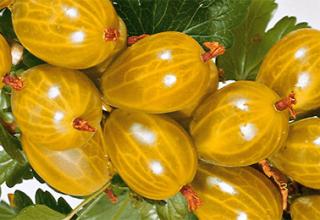 Descrierea și caracteristicile soiului, cultivarea și reproducerea Amber gooseberry