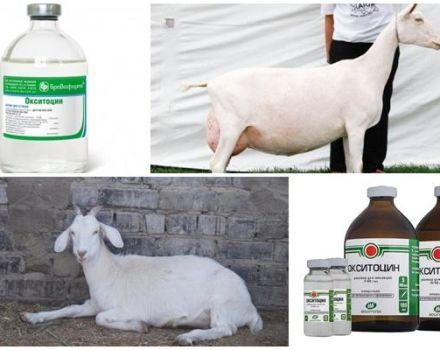 Instrucciones de uso y dosis de oxitocina, cuándo dar una cabra y análogos.