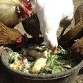 ¿Es posible dar a los pollos remolacha roja y reglas de alimentación?
