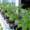 Najbolji dani za sadnju sadnica rajčice prema lunarnom kalendaru 2020. godine