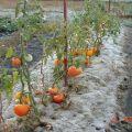Reglas para cultivar tomates en Siberia y las mejores variedades para condiciones difíciles.