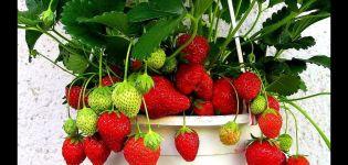 Cultivo y cuidado de fresas en casa durante todo el año