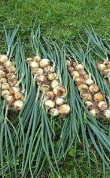 El momento de cosechar cebollas para su almacenamiento en el centro de Rusia y la región