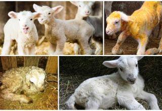 Causas y signos de la enfermedad del músculo blanco en corderos, tratamiento y prevención