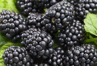 Descrierea celor mai bune soiuri de mure fără plante, plantare, creștere și îngrijire