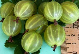 Descripción y características de la variedad de grosella malaquita, plantación y cuidado.