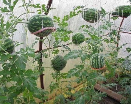 Hogyan termesztik görögdinnye polikarbonát üvegházban, ültetés és gondozás, kialakulási rendszer