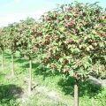 Mit lehet ültetni egy kertben egy almafa alá, virág, fák és bogyósbokrok mellett