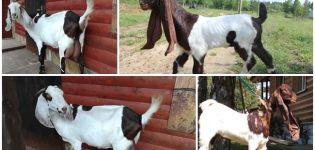 Descripción de las cabras Camori y su mantenimiento, dónde comprar y club amateur.