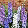 Qual è il modo migliore per trapiantare un delphinium in un nuovo posto in primavera, estate e autunno