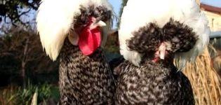 Beschreibung und Merkmale der niederländischen Hühner, Inhalt der Rasse mit weißen Hauben