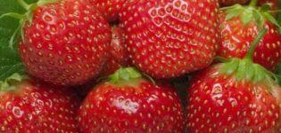 Descripción y características de la variedad, cultivo y cuidados de fresa Holiday