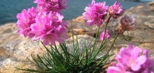 Descrierea a 25 de specii și soiuri de armerie, plantare și îngrijire în câmp deschis
