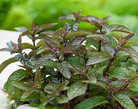 Descrierea varietății de mentă de ciocolată, caracteristicile creșterii și îngrijirii plantei