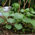 Secretele cultivării, tehnologiei agricole și îngrijirii castraveților în câmp deschis