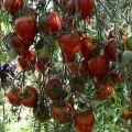 Características y descripción de la variedad de tomate Tarasenko jubilee, su rendimiento.