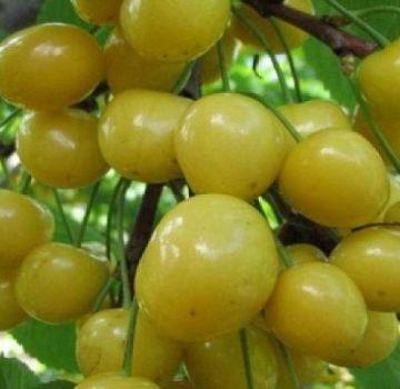 Beschrijving van de variëteit aan kersen Home Garden geel, planten en verzorgen, voorbereiding op de winter