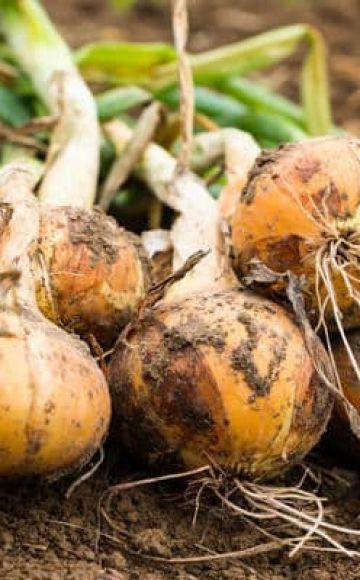 Tratamiento de enfermedades de las cebollas con remedios caseros, recetas para combatirlas.