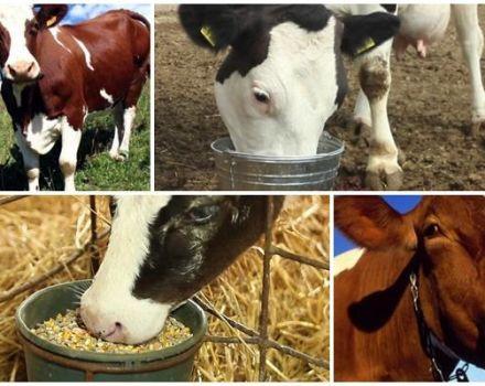 Mi a teendő, ha a tehén otthon tele van összetörve?