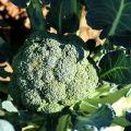 Pestovanie a starostlivosť o brokolicu vonku doma