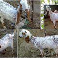 Descripción y características de las cabras bitales, reglas de cuidado y mantenimiento.