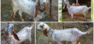 Descrierea și caracteristicile caprelor bituale, regulile de îngrijire și întreținere