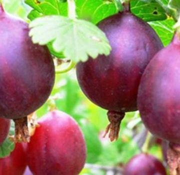 TOP 20 mejores variedades de grosella espinosa para Siberia y los Urales con una descripción